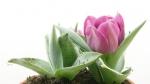 timelapse tulips