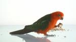 parrot feeding